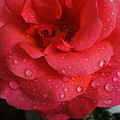 June  Rose  by Colette V Hera  Guggenheim