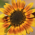 June Sunflowers #2 by Kevin McCollum