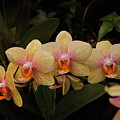 Jungle Orchids by Byron Varvarigos