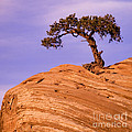 Juniper On Sandstone by Len Rue Jr.