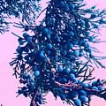 Juniper by Paul Kercher