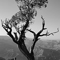 Juniper Tree At Grand Canyon II Bw by David Gordon