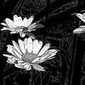 Just Daisies  by Brenda Spencer
