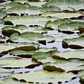 Just Lily Pads by Carol Groenen