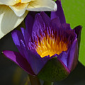 Just Opening Purple Waterlily -  Square by AEC -  Abundant Eight Creative