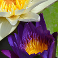 Just Opening Purple Waterlily With White - Vertical by AEC -  Abundant Eight Creative