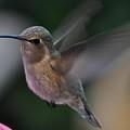 Juvenile Anna's Hummingbird Landing On Perch by Jay Milo