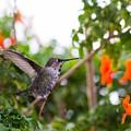 Juvenile Anna's Hummingbird Warm-up by Skip McKenzie