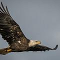 Juvenile Bald Eagle 02 by Alvin Sangma