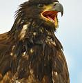 Juvenile Bald Eagle by Surjanto Suradji