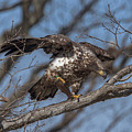 Juvenile Bald Eagle With A Fish Drb0218 by Gerry Gantt