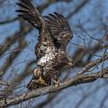 Juvenile Bald Eagle With A Fish Drb0219 by Gerry Gantt