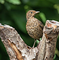 Juvenile Black Bird Turdus Merula Fledgling In Tree Stump In For by Matthew Gibson