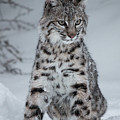 Juvenile Bobcat In The Snow by Teresa Wilson
