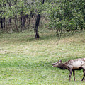 Juvenile Bull Elk Grazing 2 by Tracy Winter