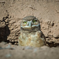 Juvenile Burrowing Owl-img_164817 by Rosemary Woods-Desert Rose Images