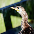 Juvenile Cormorant Profile by Debra Martz