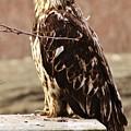 Juvenile Eagle by Lori Mahaffey