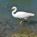 Juvenile Egret by Teresa Blanton