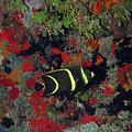 Juvenile Gray Angelfish, U. S. Virgin Islands 1 by Pauline Walsh Jacobson