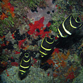 Juvenile Gray Angelfish, U. S. Virgin Islands 2 by Pauline Walsh Jacobson