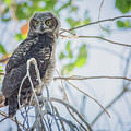 Juvenile Great Horned Owl 0460-051318-1cr by Tam Ryan