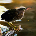 Juvenile Green Heron by Rich Leighton