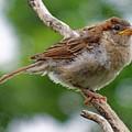 Juvenile House Sparrow by Cindy Treger