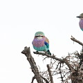 Juvenile Lilac Breasted Roller by Nico Cillie