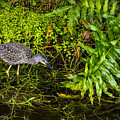 Juvenile Night Heron by Nancy L Marshall