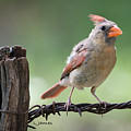 Juvenile Northern Cardinal by Larry Pacey