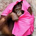 Juvenile Orangutan by John Black
