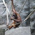 Juvenile Orangutan by Lana Raffensperger