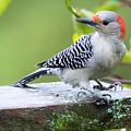 Juvenile Red-bellied Woodpecker In The Rain by Ricky L Jones