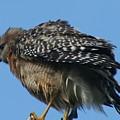 Juvenile Red-shouldered Hawk by Dennis Rosa