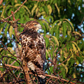 Juvenile Red Tailed Hawk 1 Square by Bill Wakeley