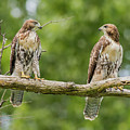 Juvenile Red-tailed Hawks Eyeing Each Other by Morris Finkelstein