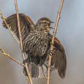 Juvenile Red Winged Blackbird by Sue Matsunaga