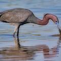 Juvenile Reddish Egret by Jerry Fornarotto