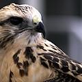 Juvenile Swainson's Hawk by NaturesPix