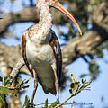 Juvenile White Ibis by Susan Grube