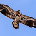 Juvenile Bald Eagle by Randy Scherkenbach