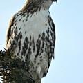 Juvi Red Tail Hawk by Jo-Ann  Matthews