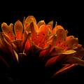 Kaffir Lily by James Eddy