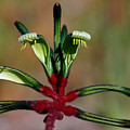 Kangaroo Paw Manglesii by Tony Brown