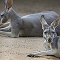 Kangaroo Relaxing On Ground In The Sun by Alex Grichenko