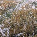 Kans Grass In Mist by Hitendra SINKAR