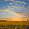 Kansas Sunflowers At Sunset by Catherine Sherman
