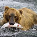 Katmai Grizzly by Bruce Benson