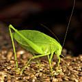 Katydid Close Up Bug by Leon Winkowski